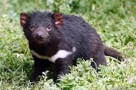 Marsupial